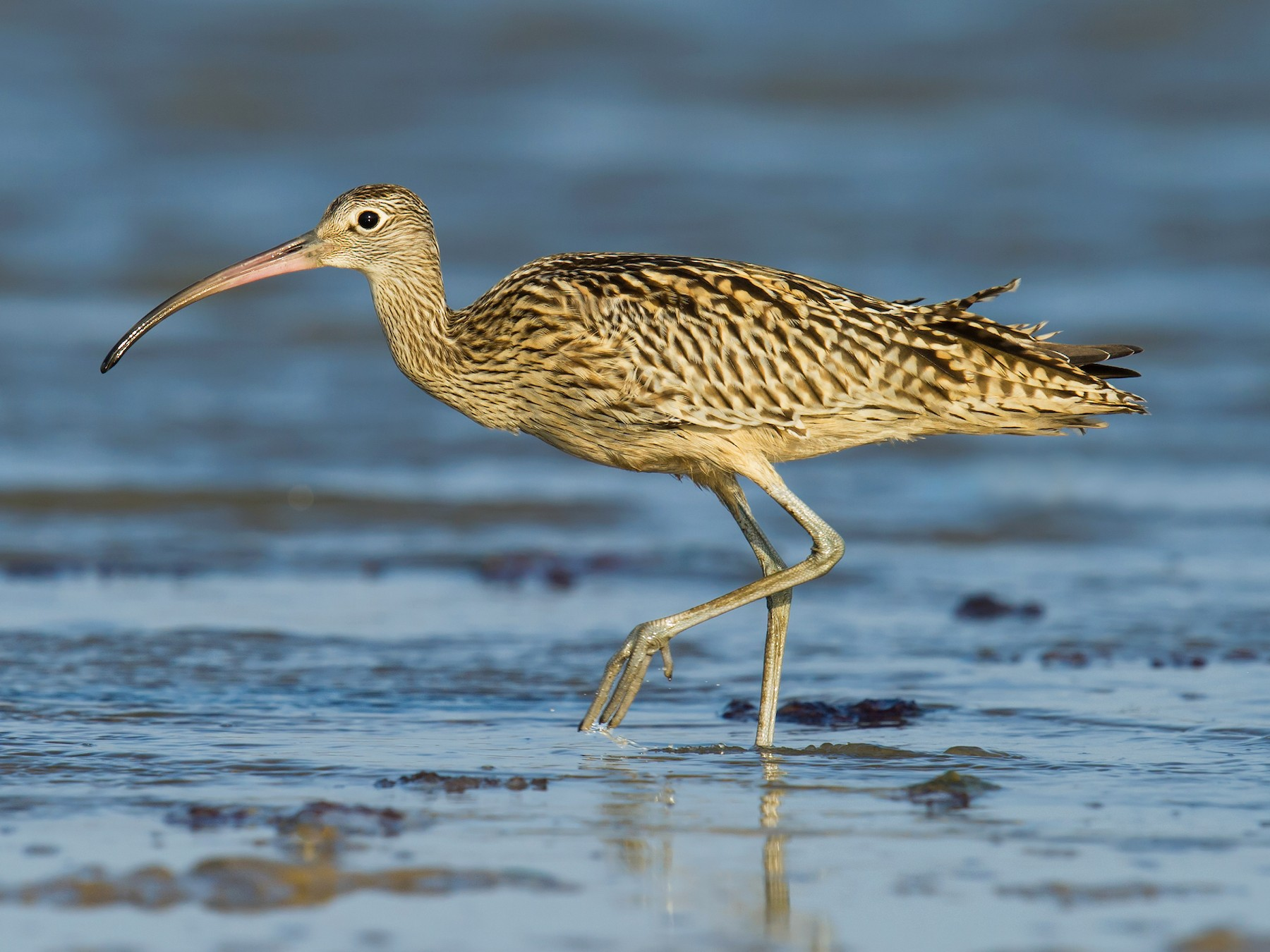 Far Eastern Curlew - Craig Brelsford