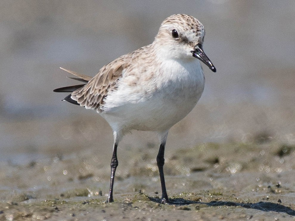 Red-necked Stint - Terence Alexander