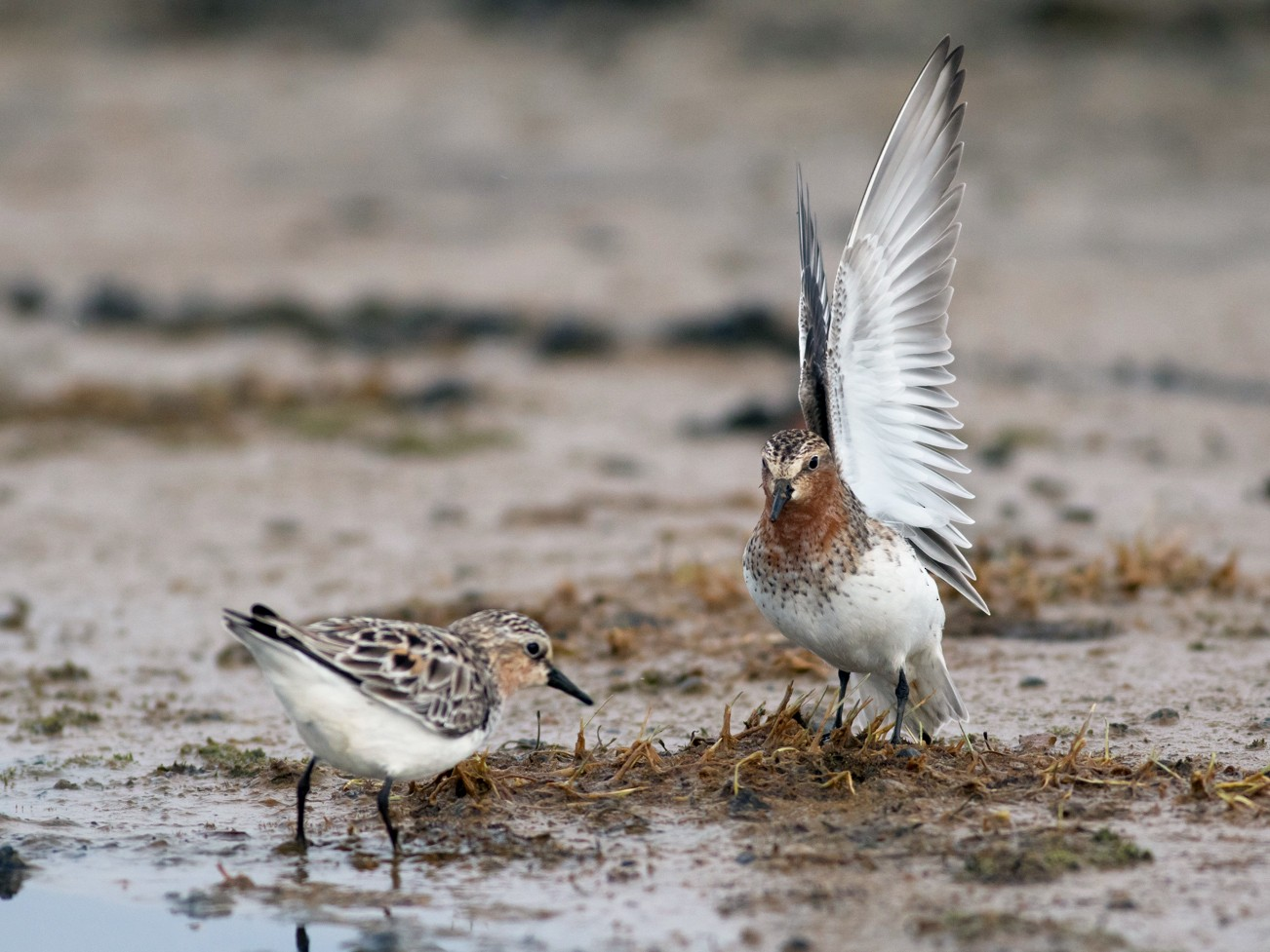Red-necked Stint - Tom Johnson