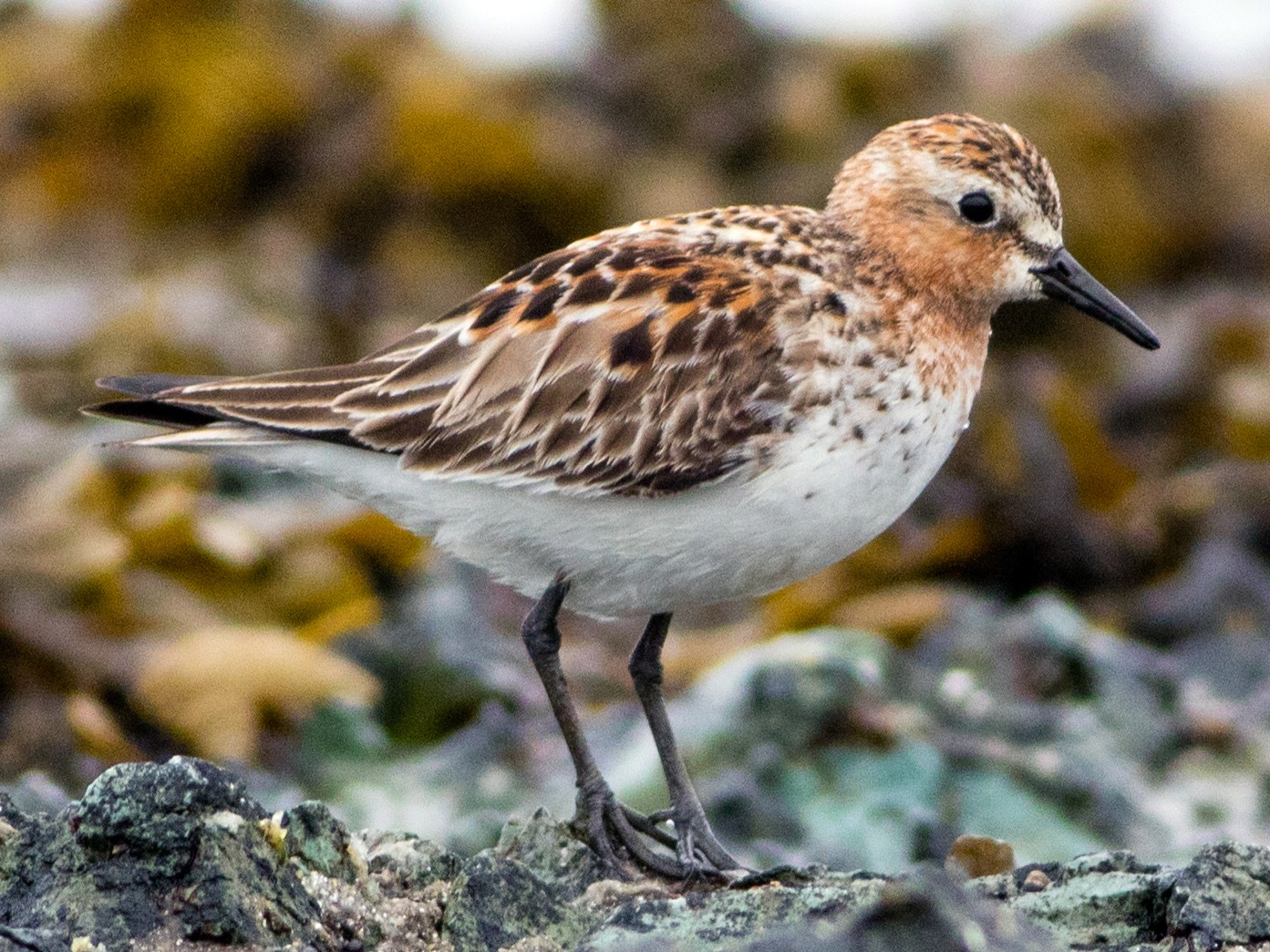 Red-necked Stint - Neil Hayward