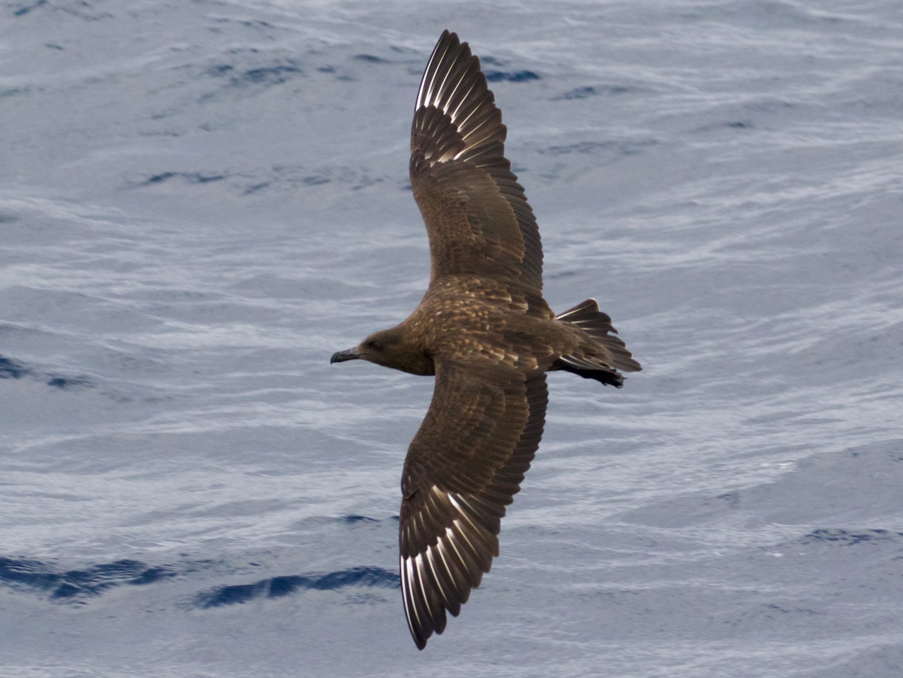 Brown Skua - Scott Baker