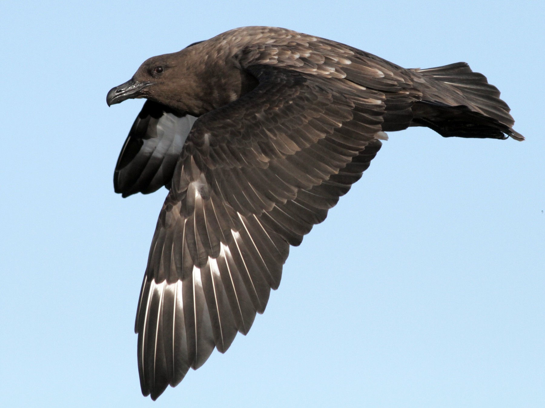 Brown Skua - Alex Wiebe