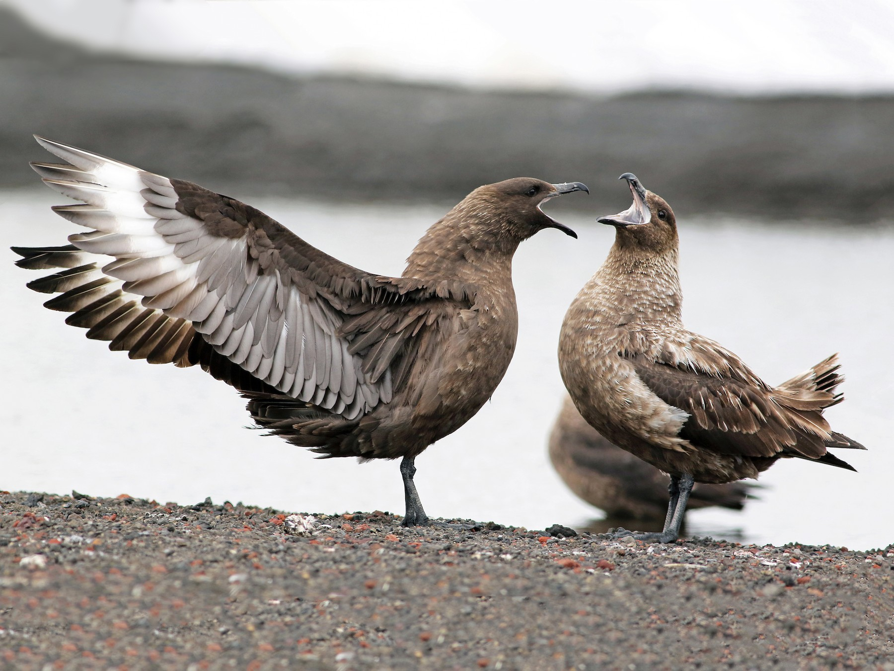 Brown Skua - Andrew Spencer