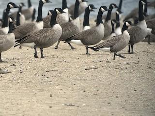 Cackling Goose, ML117409301