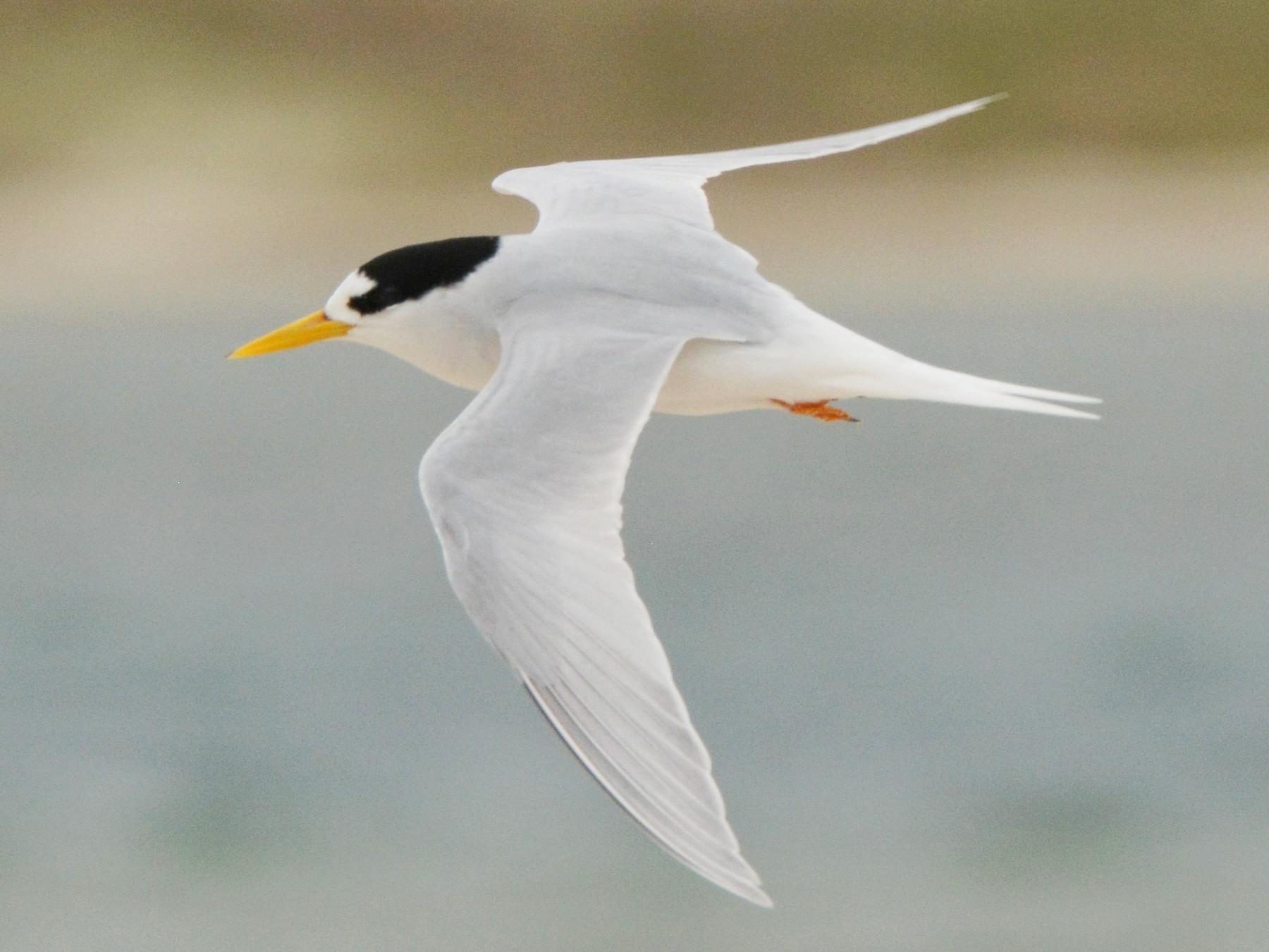 Australian Fairy Tern - Christopher Stephens
