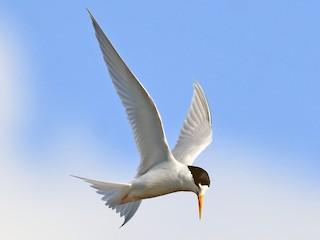 - Australian Fairy Tern