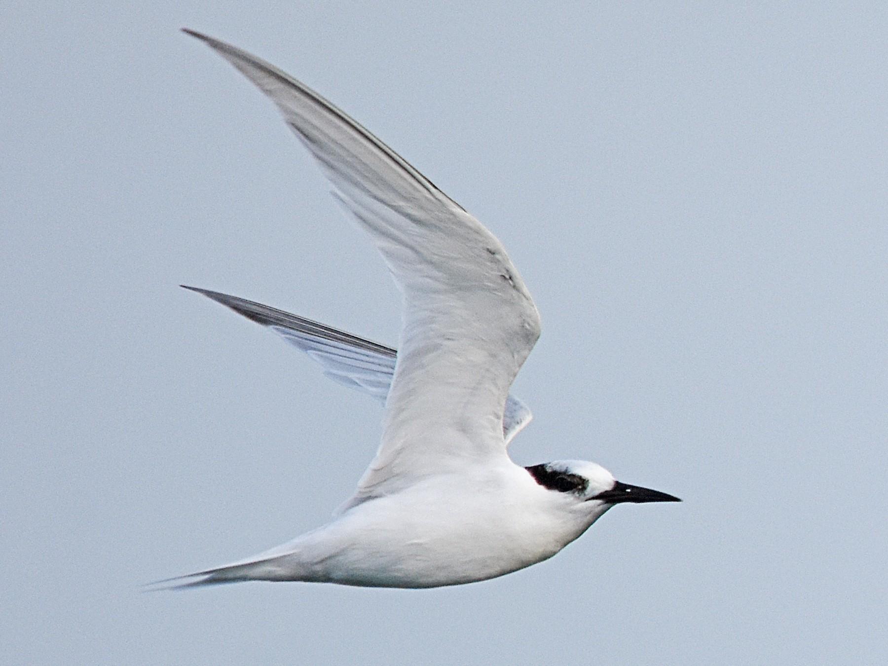 Australian Fairy Tern - Geoffrey Groom