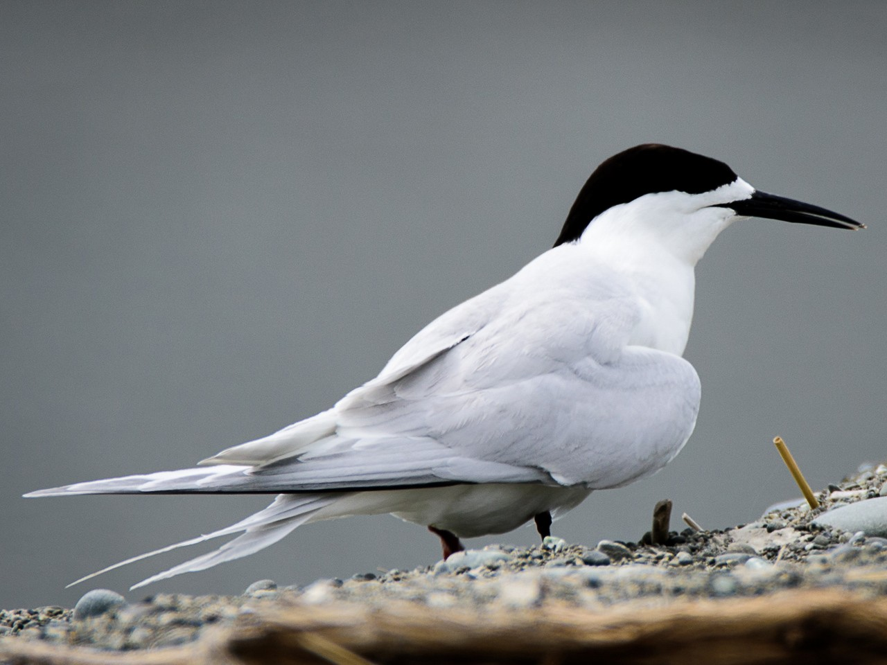 White-fronted Tern - Adam Higgins