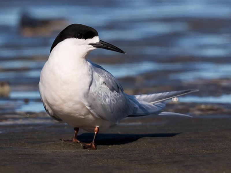 White-fronted Tern - Imogen Warren