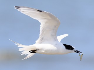 - White-fronted Tern