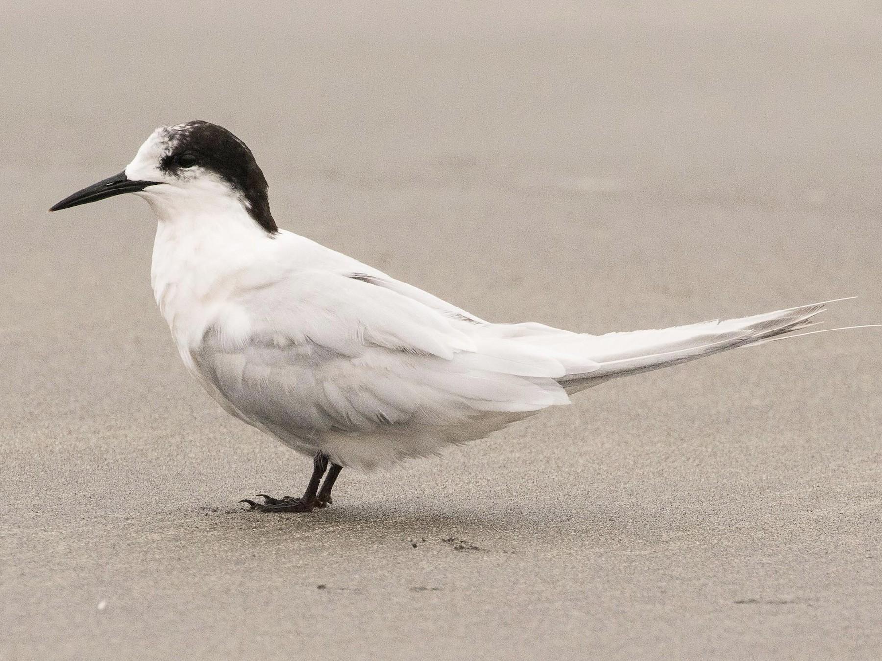 White-fronted Tern - Eric VanderWerf