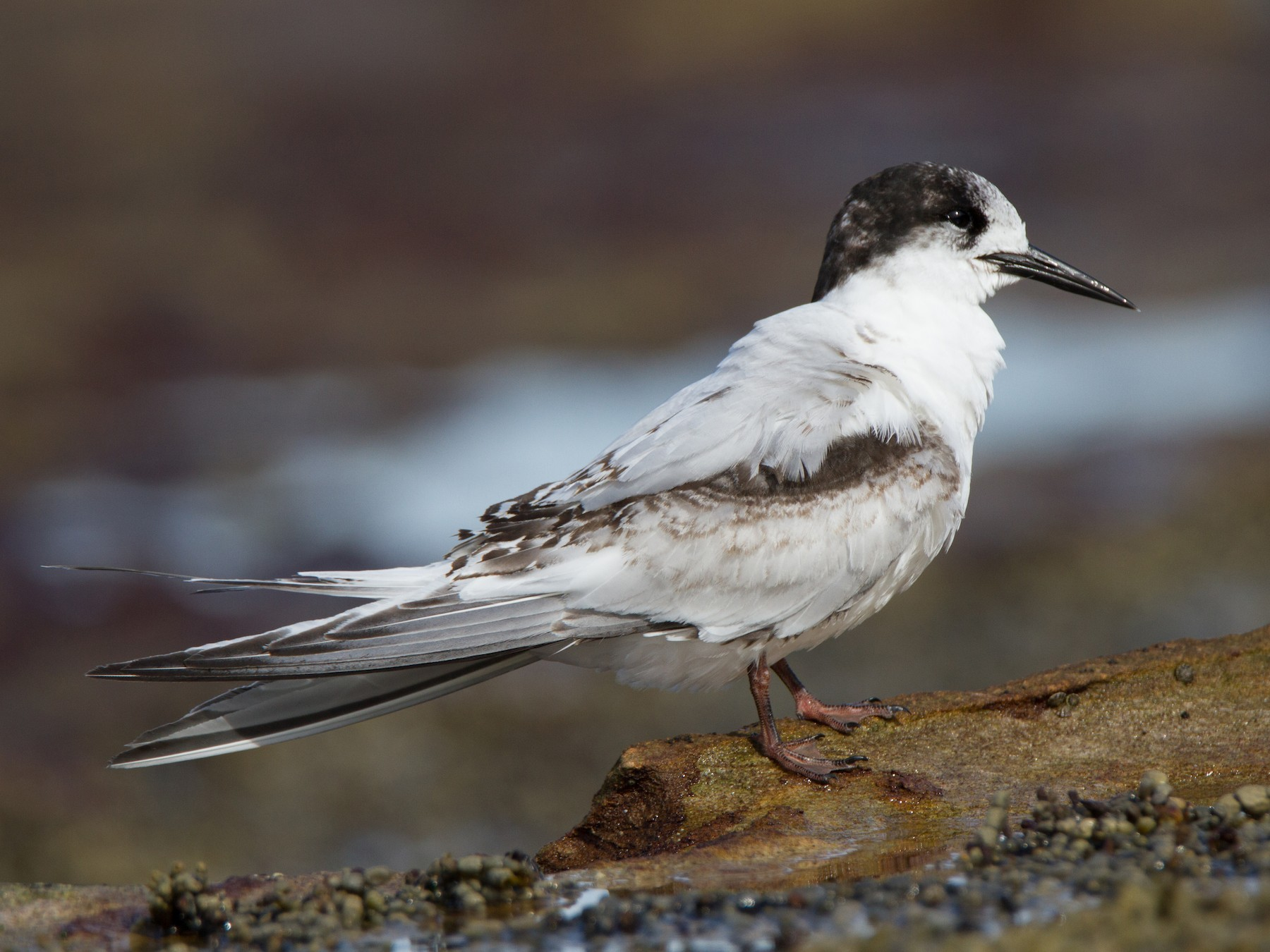 White-fronted Tern - Timothy Paasila