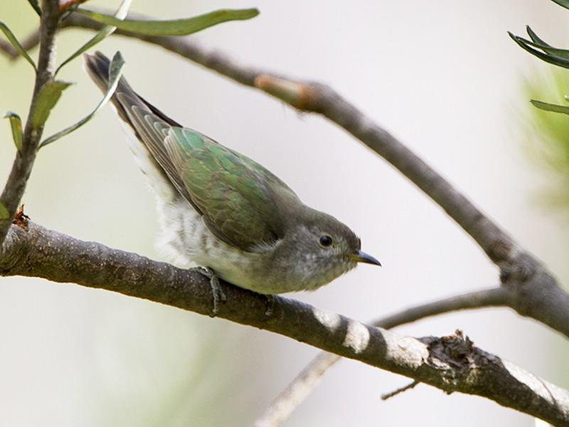 Shining Bronze-Cuckoo - Stephen Murray