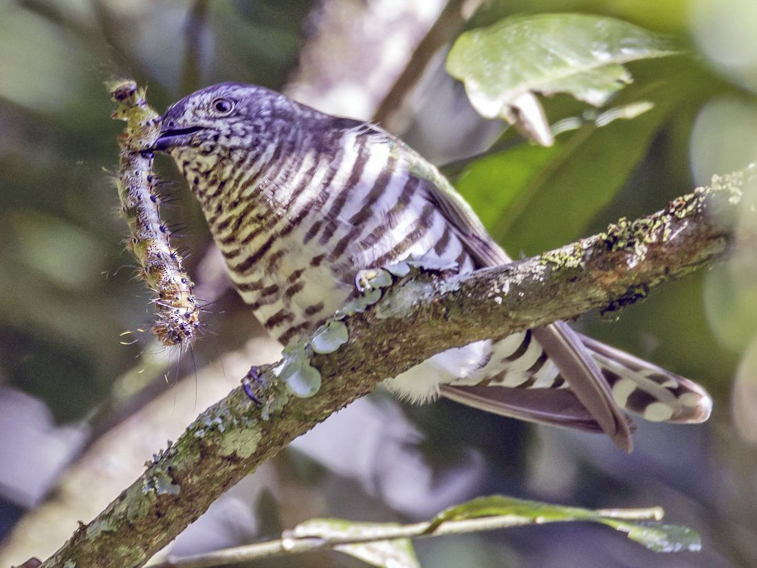 Shining Bronze-Cuckoo - Greg Neill