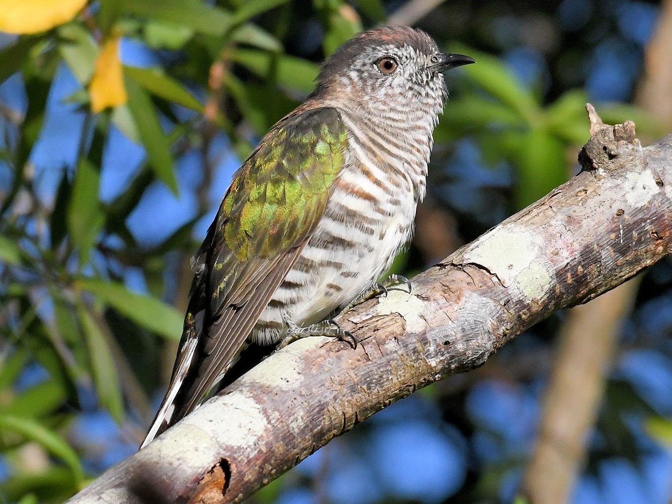 Shining Bronze-Cuckoo - David Siu