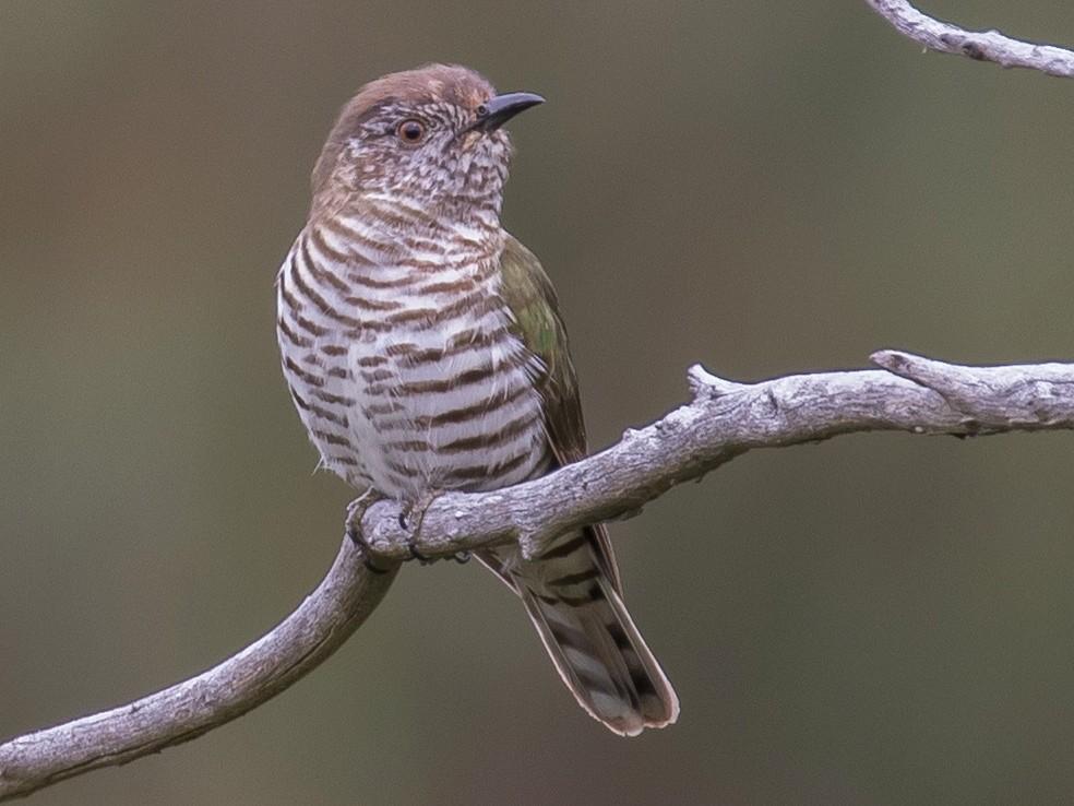Shining Bronze-Cuckoo - shorty w