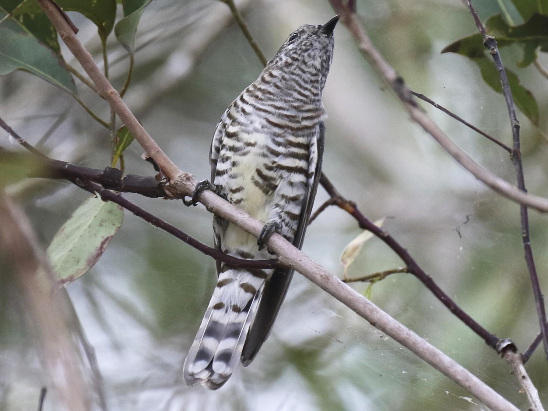 Shining Bronze-Cuckoo - Chris Barnes