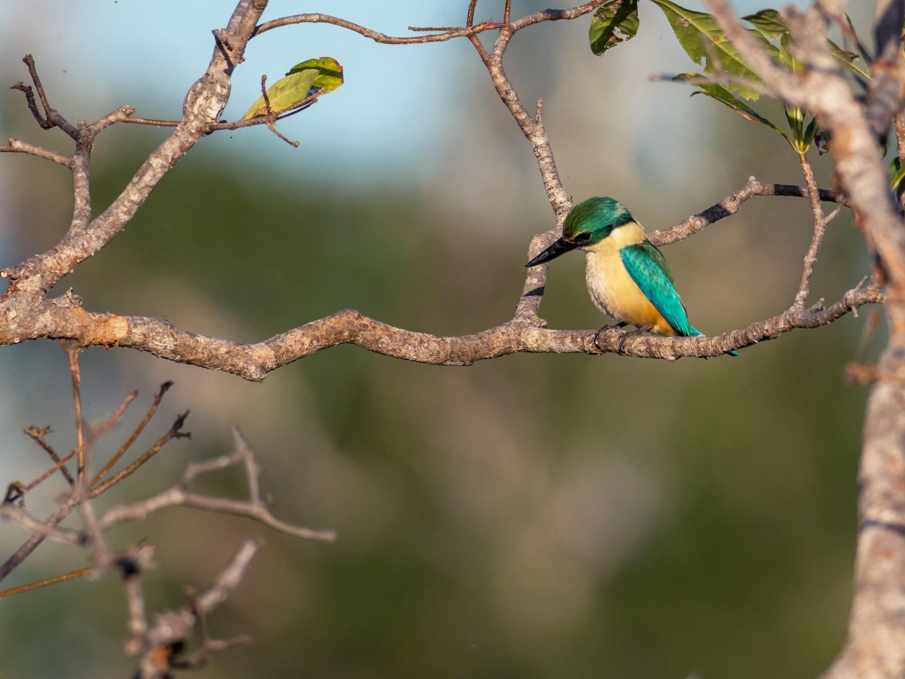 Sacred Kingfisher - Raphaël Nussbaumer