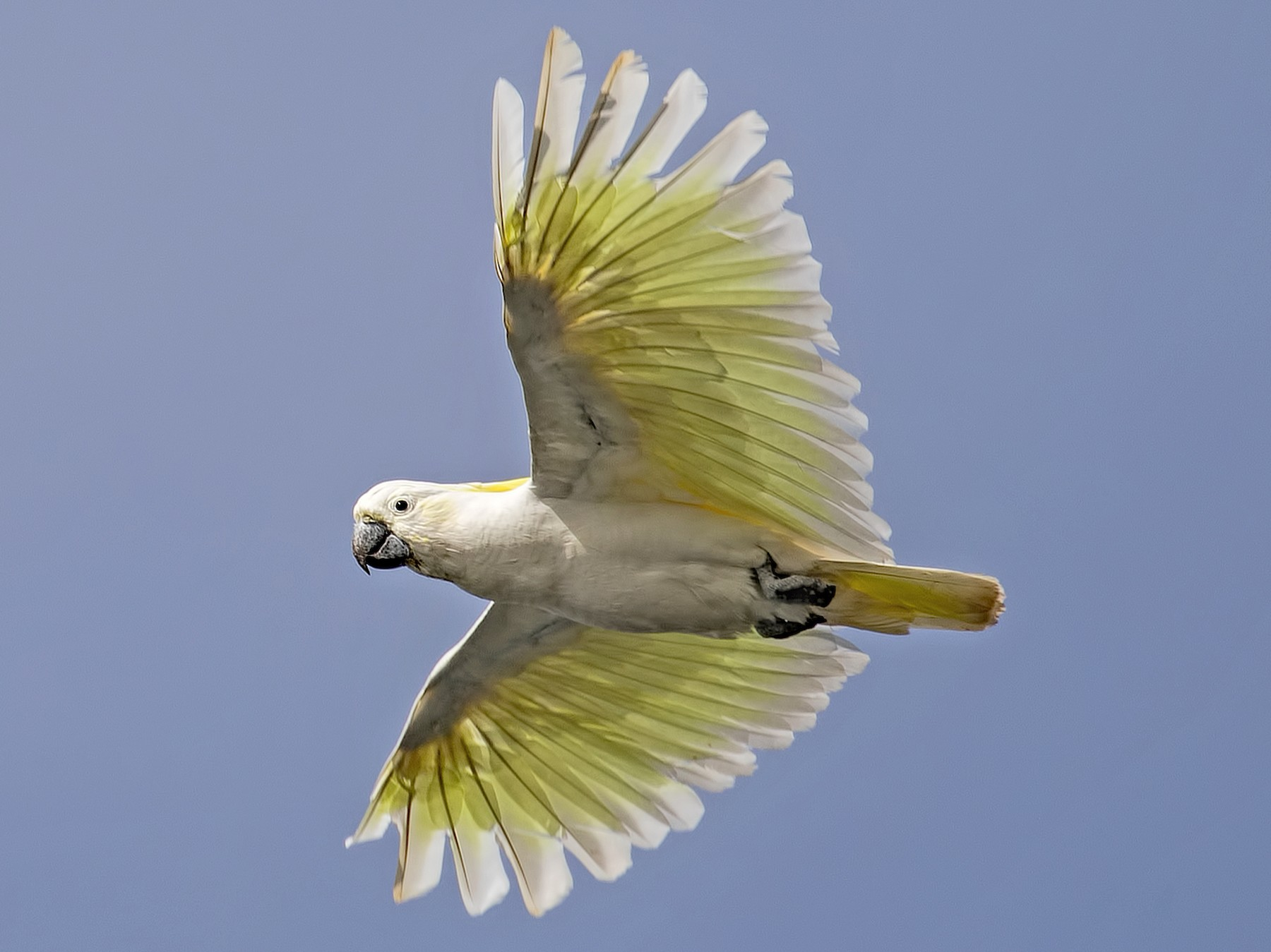 Sulphur-crested Cockatoo - Julie Clark