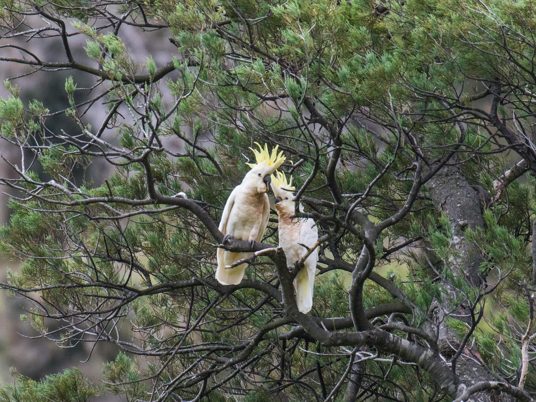 Sulphur-crested Cockatoo - Cameron Carver
