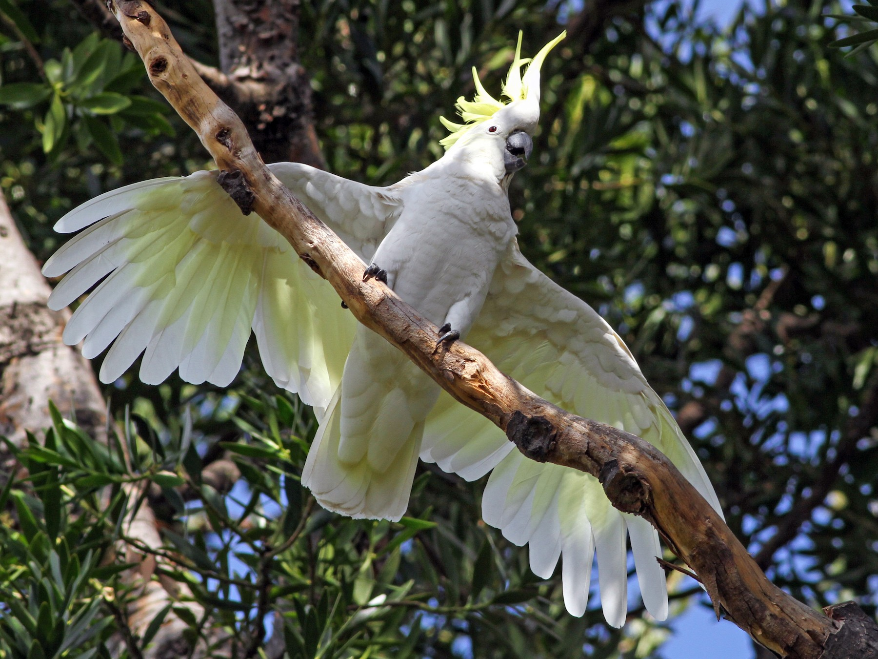 Sulphur-crested Cockatoo - Evan Lipton
