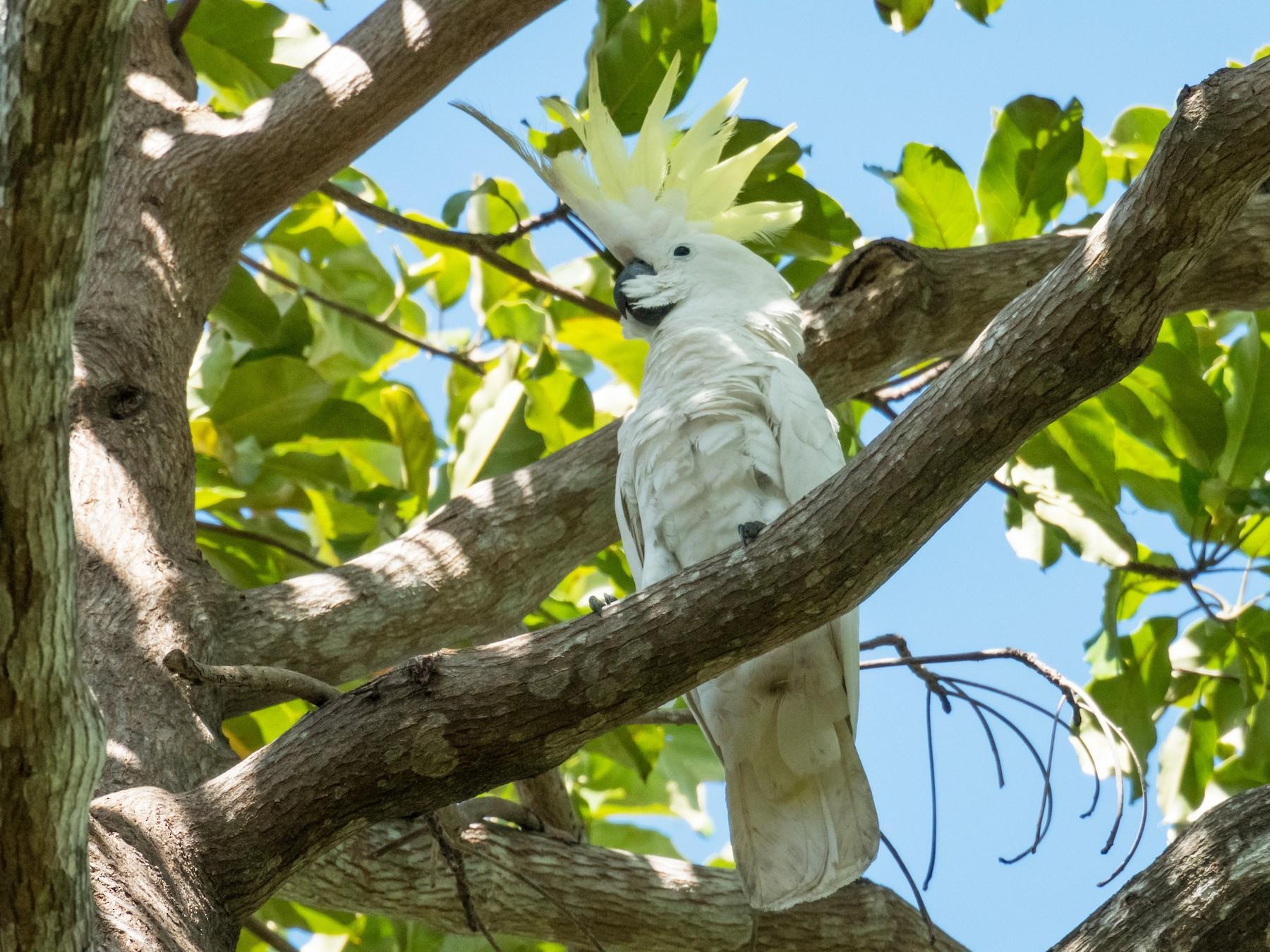 Sulphur-crested Cockatoo - Raphaël Nussbaumer