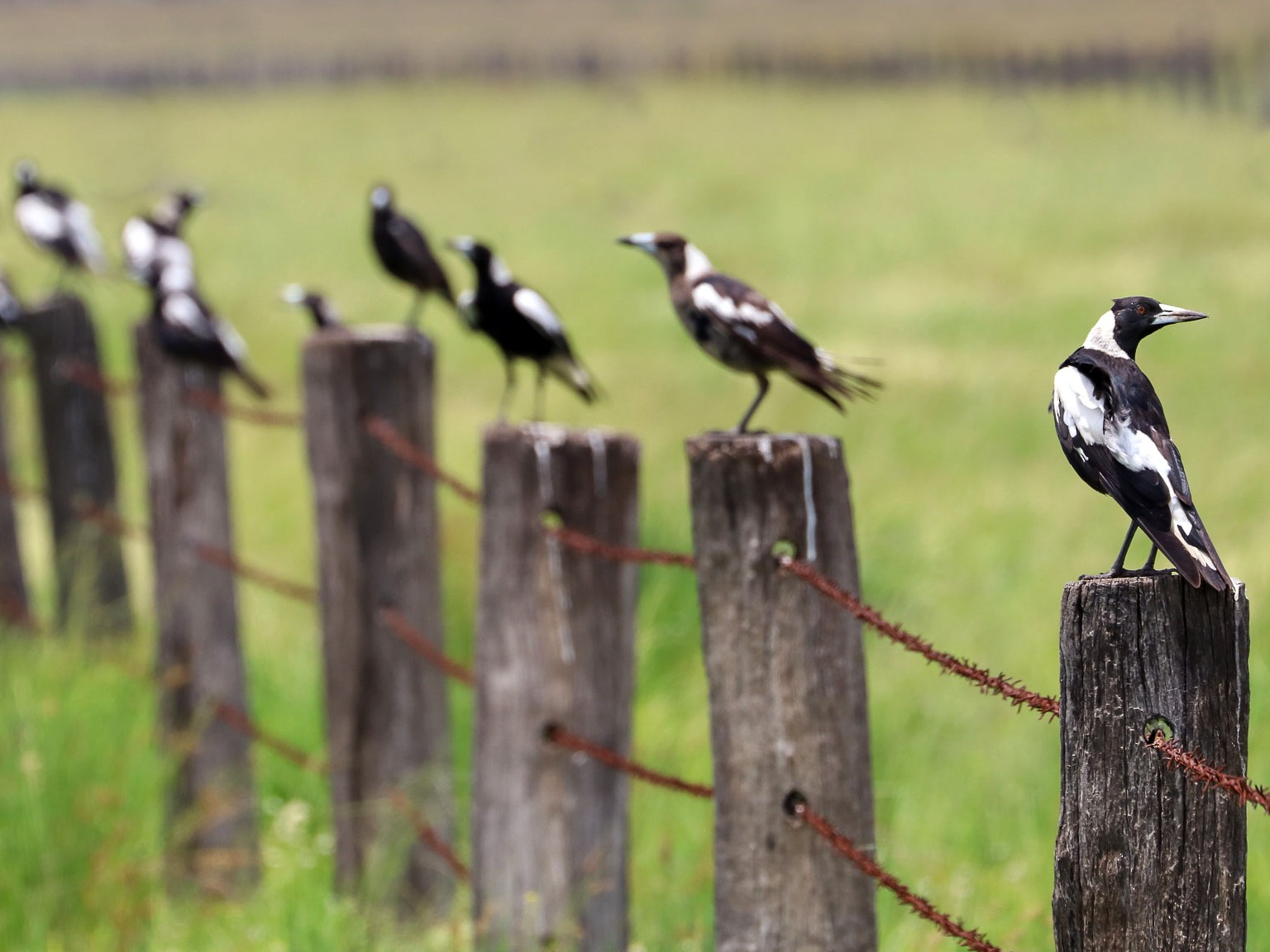 Australian Magpie - Ged Tranter