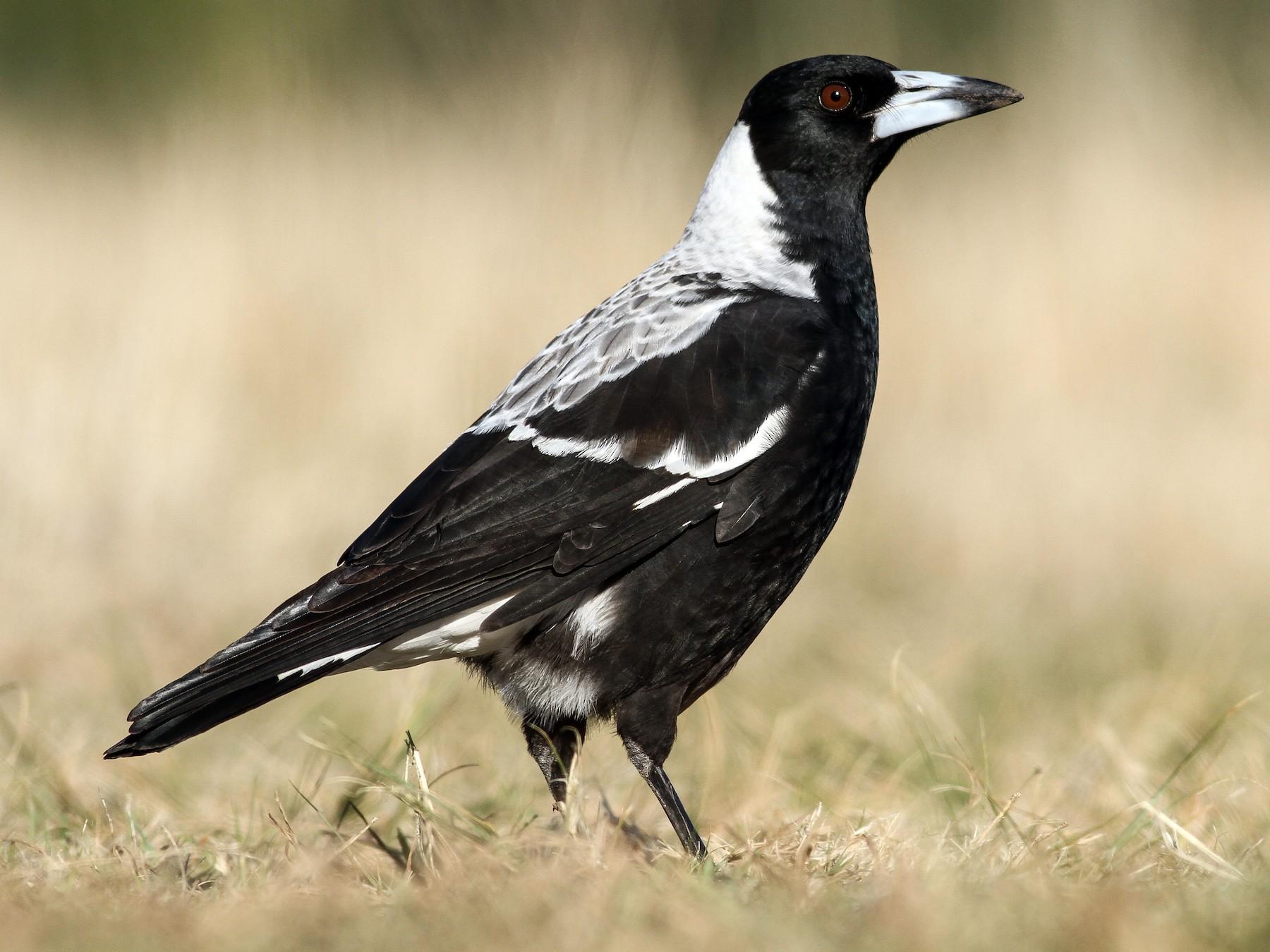 Australian Magpie - Evan Lipton