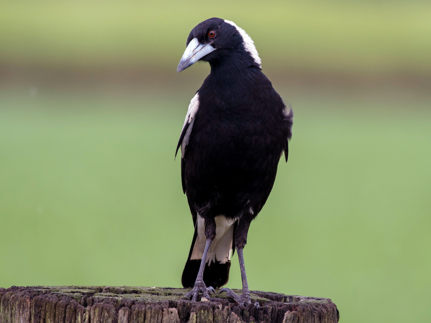 Australian Magpie - Terence Alexander