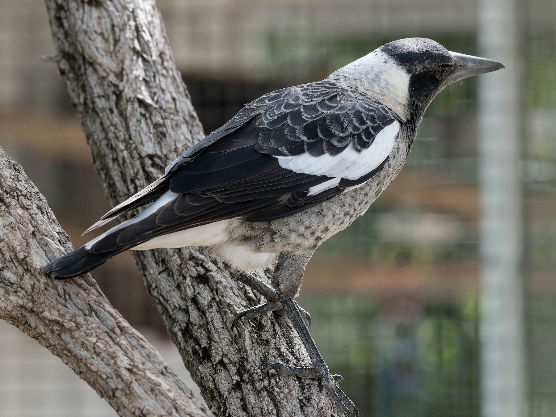 Australian Magpie - Terence Alexander