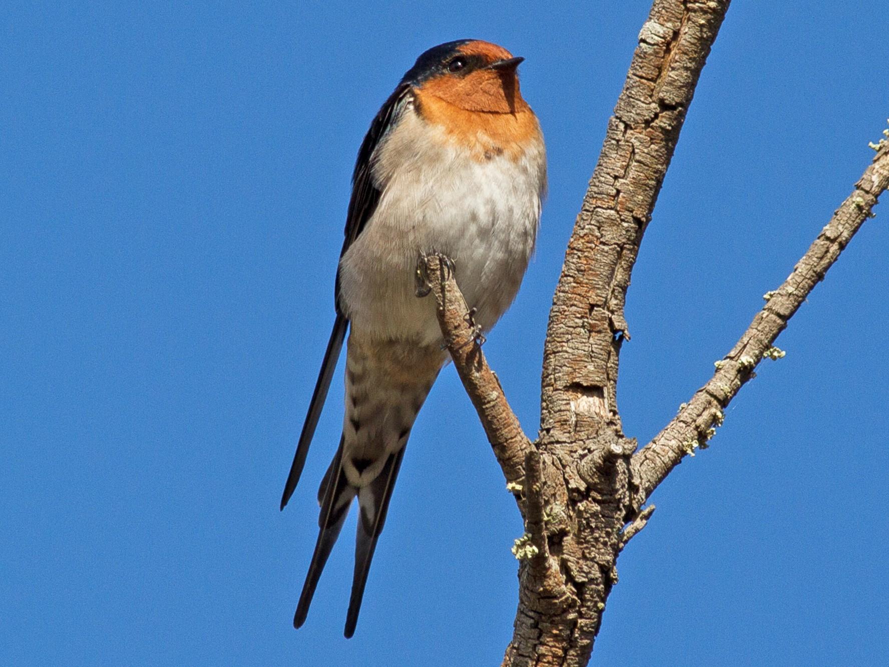 Welcome Swallow - Kym Nicolson