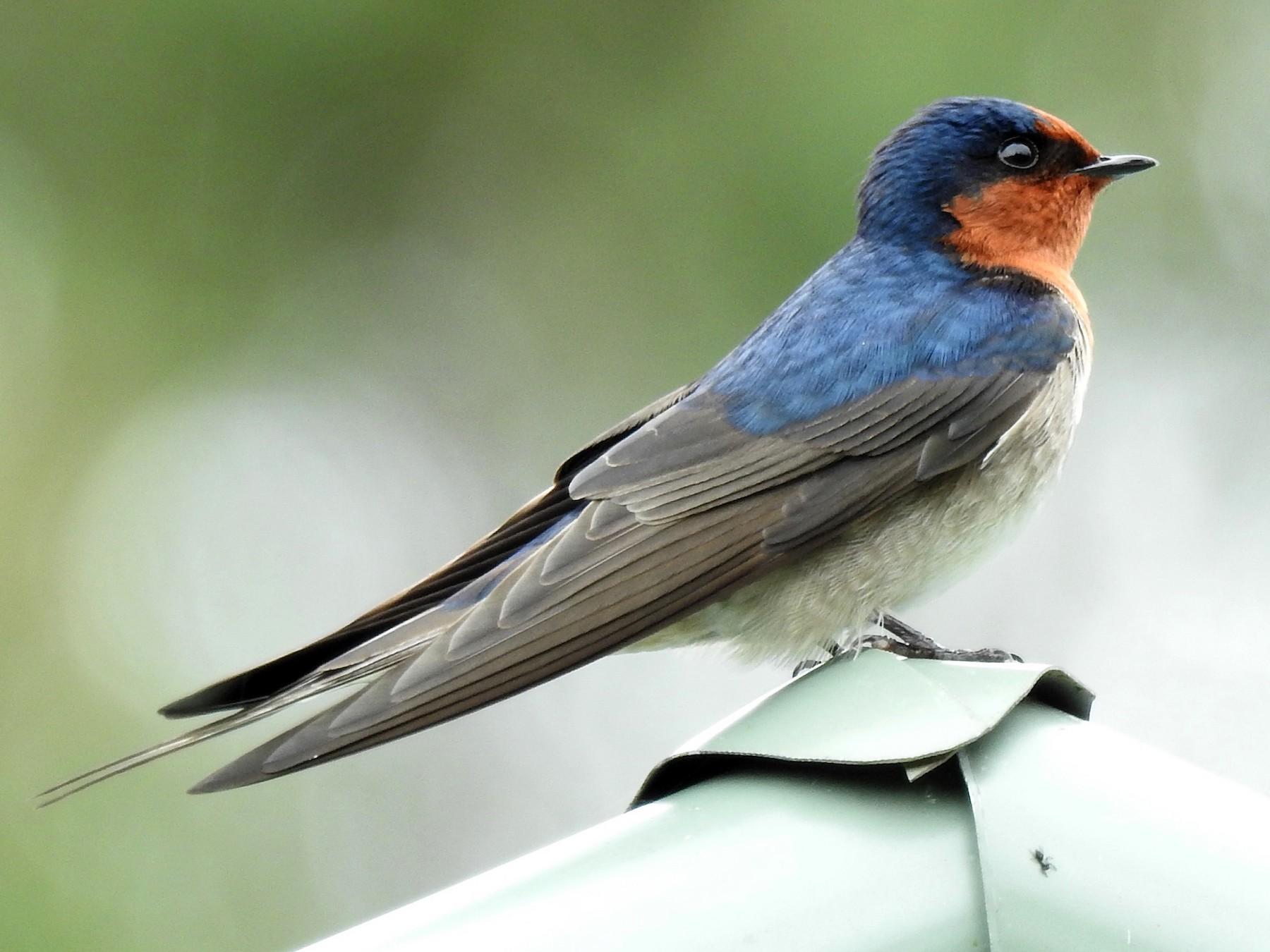 Welcome Swallow - Eliza Scott