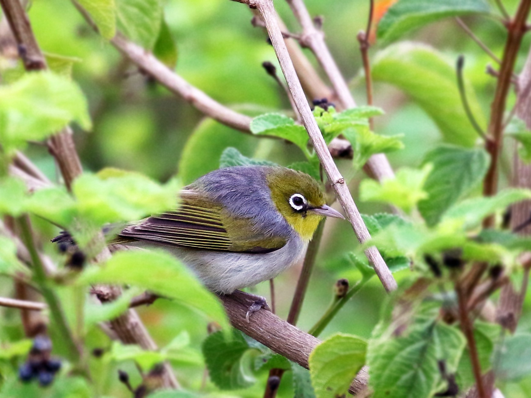 Silvereye - Andrew Spencer