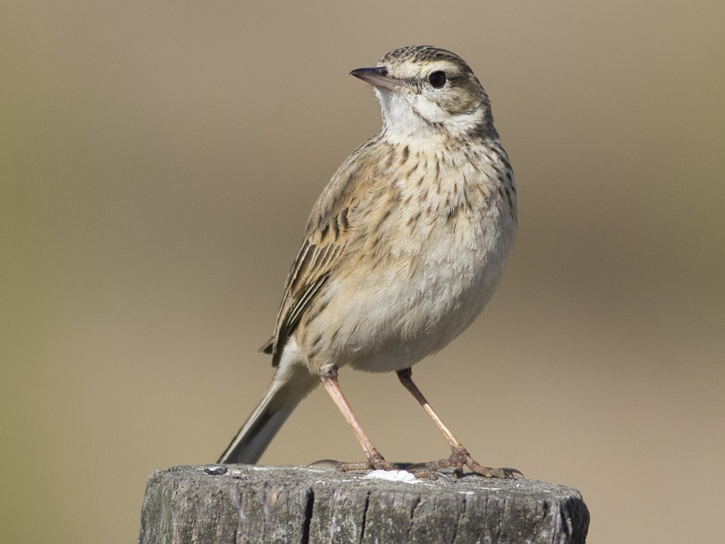 Australasian Pipit - Stephen Murray