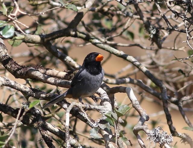 Black-cowled Saltator