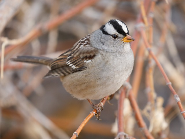 © Darren Clark - White-crowned Sparrow