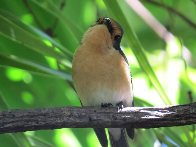 Palau Flycatcher
