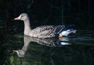 Greater White-fronted Goose (Western)