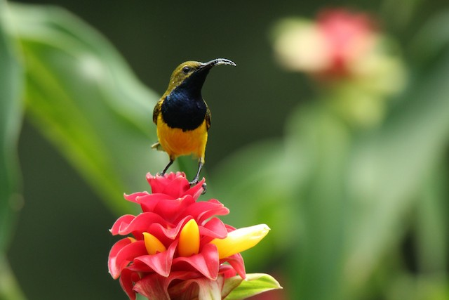Olive-backed Sunbird (Yellow-faced)