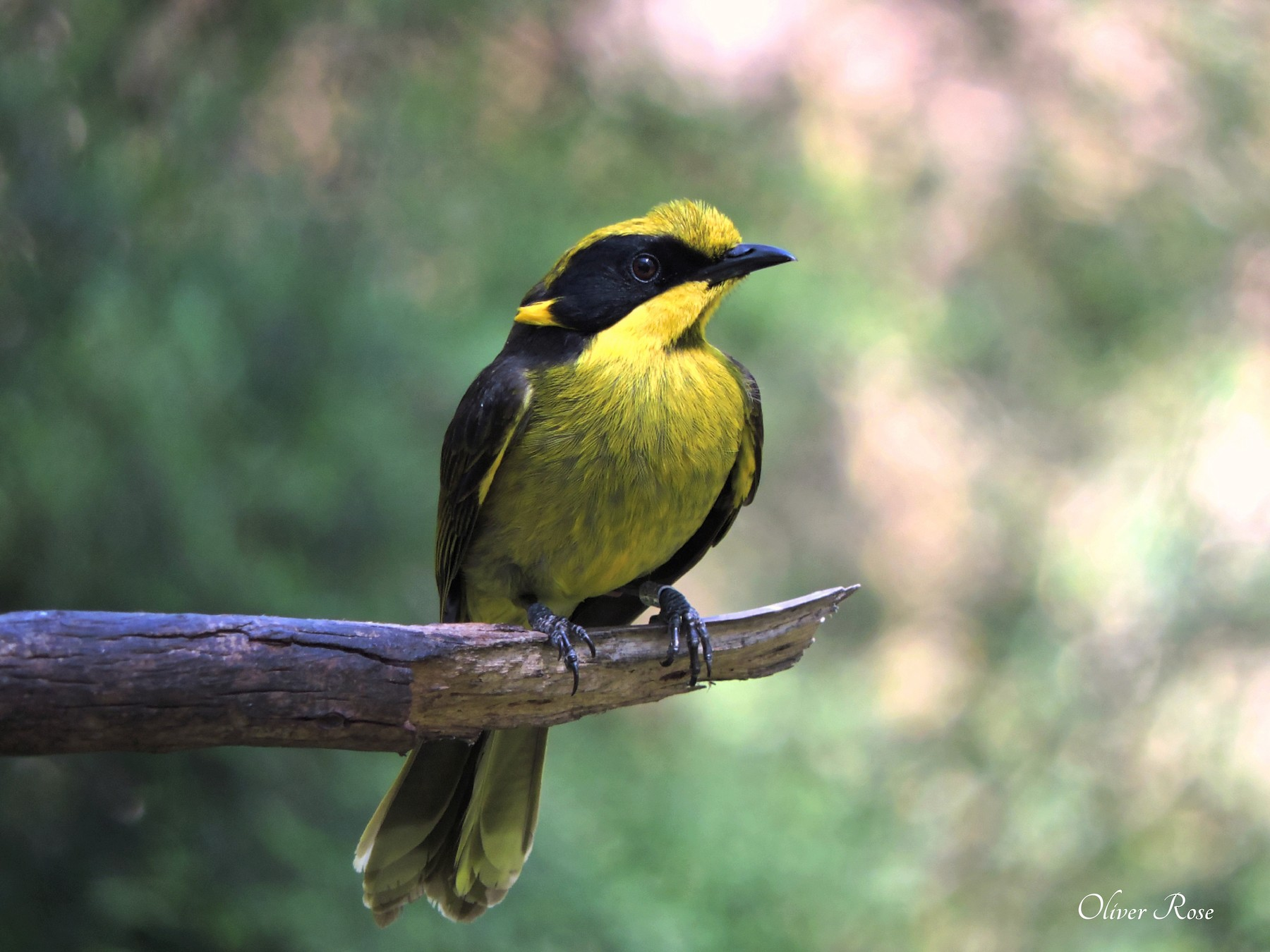 Yellow-tufted Honeyeater (Helmeted) - Oliver Rose