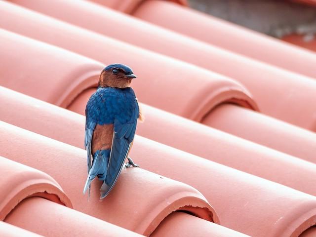 Rufous-bellied Swallow