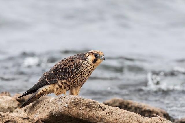 Peregrine Falcon (Tundra)