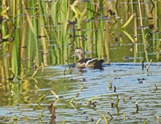 Wood Duck, ML118362281
