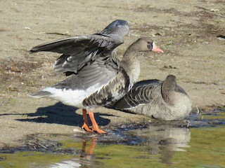 Greater White-fronted Goose, ML118593291