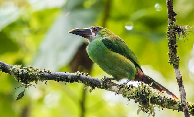 Southern Emerald-Toucanet (Gray-throated)