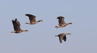 Cackling Goose, ML118692851