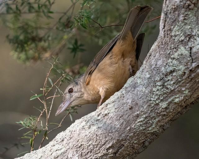 Little Shrikethrush Ebird