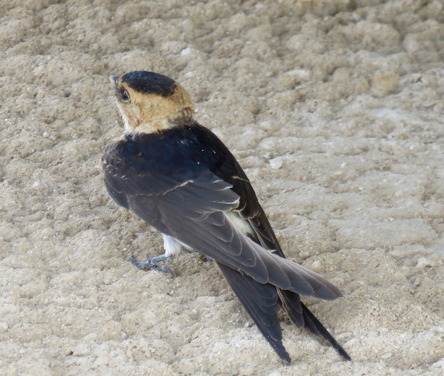 © Brian James - Red-rumped Swallow