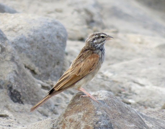 ©Brian James - Striolated Bunting