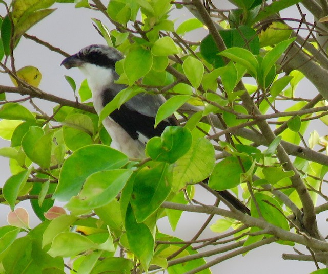 ©Brian James - Lesser Gray Shrike